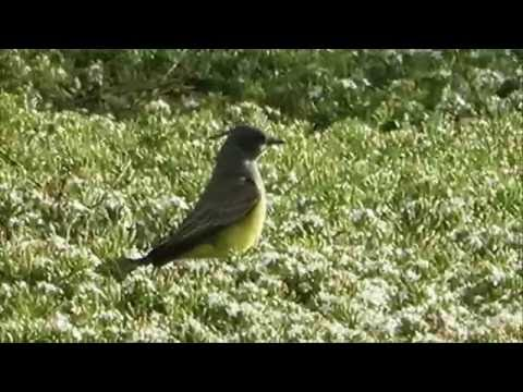 Cassin's Kingbird Foraging in Blossom Patch (California)