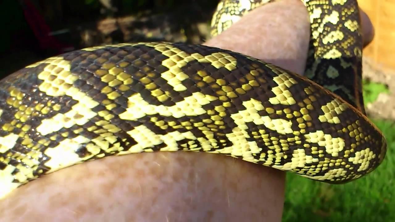 caramel diamond jungle carpet python