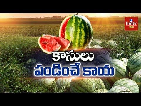 Watermelon Farming Information Guide | hmtv Agri