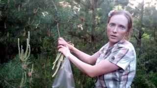 Сбор сосновых шишок для варенья