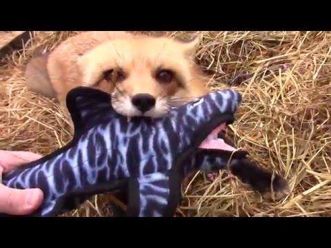 Fox jaws vs SHARK JAWS