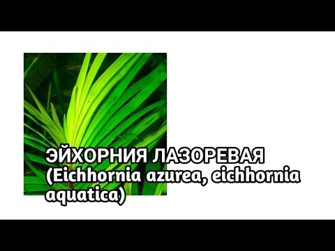 Эйхорния Лазоревая | Эйхорния Водная | (Eichhornia azurea, eichhornia aquatica).