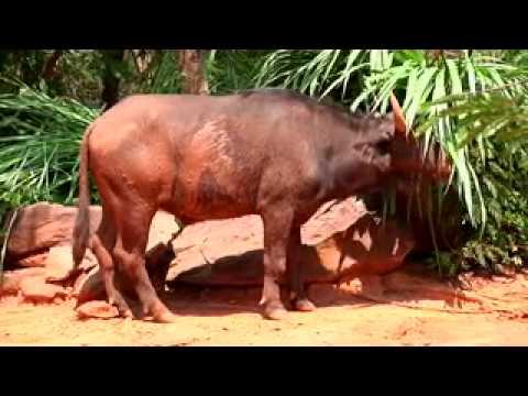 Master Inside Zoo ตอน ควายป่าแอฟริกา.mov