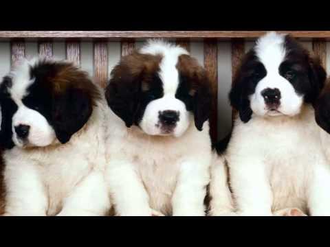 How To Housebreak A Saint Bernard Puppy