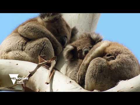 Rendezvous mit Koala und Känguru – ein Roadtrip durch das grüne Victoria