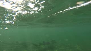 Nurse sharks at Le Galion, St Martin