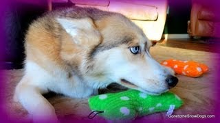 How Do I Get My Husky To Howl? Fan Friday #82