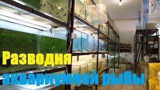 Разводня аквариумной рыбы (первая серия)
