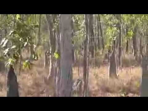 Cape York mob pigs, Crowd control. Saratoga Fishing and Hunting Adventures.