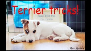 Parson russell terrier Sam, cute dog tricks, first summer. Clicker training