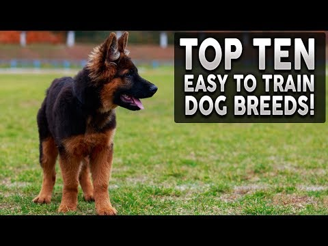 top-10-easy-to-train-dog-breeds!