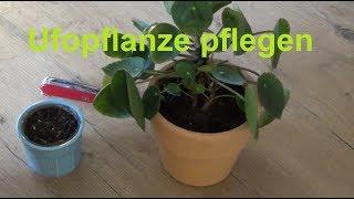 Ufopflanze pflegen gießen düngen Standort Tipps Pilea peperomioides