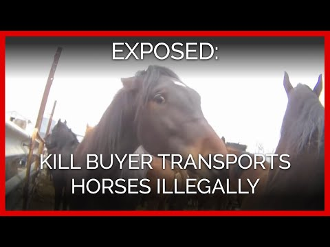 Kill Buyer Admits to Transporting Horses Illegally