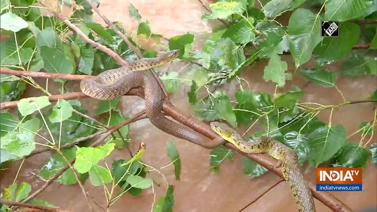 Watch: Snakes take shelter on trees in Shivamogga as Tunga river swells
