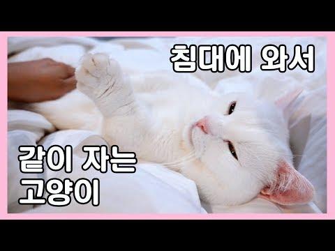 주인이 자러가면 침대로 와서 같이 자는 고양이 😍 개냥이 꼬부기