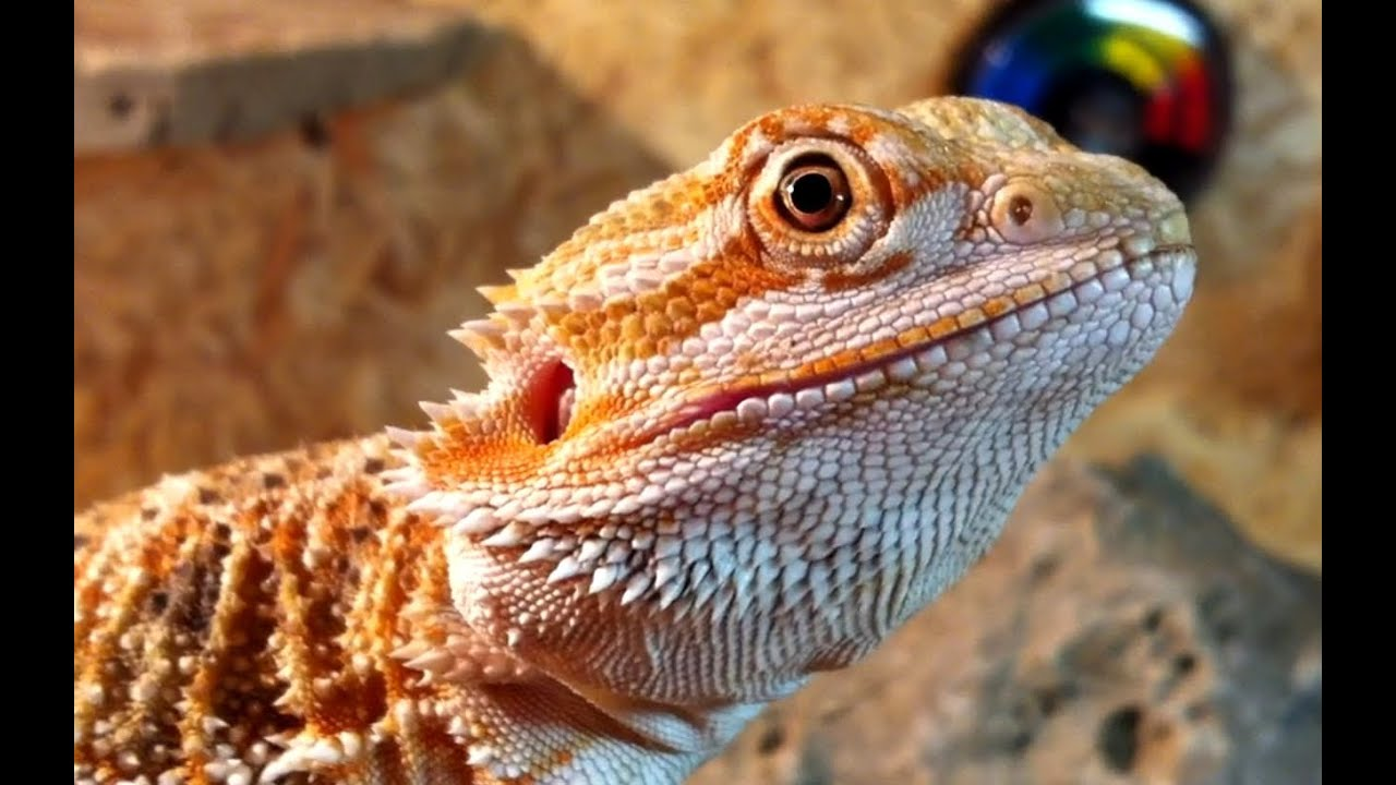 4 Month old red Bearded Dragon - cute baby pogona ...