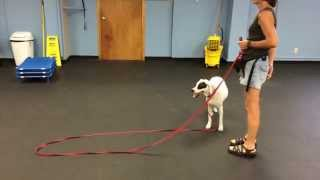 Come When Called Away From Distraction | K9 Connection Dog Training Buffalo Ny