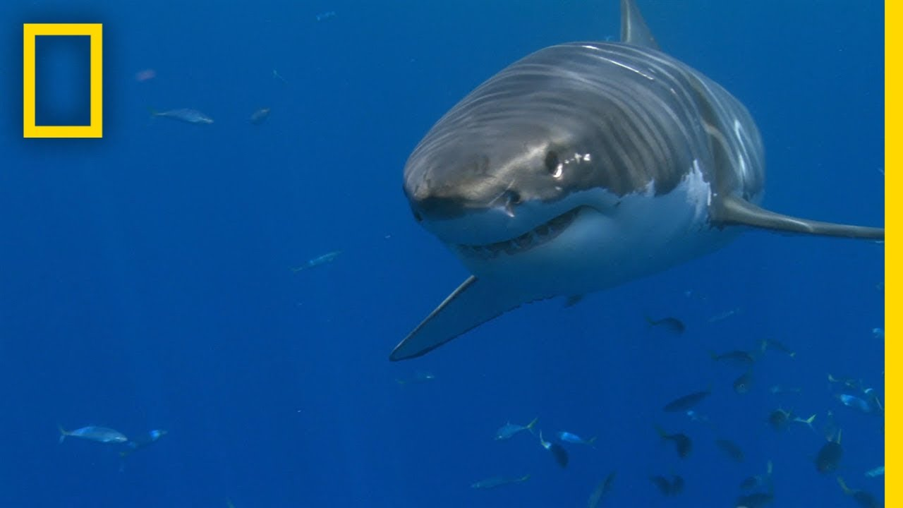 Why Are White Shark Attacks on the Rise? | SharkFest