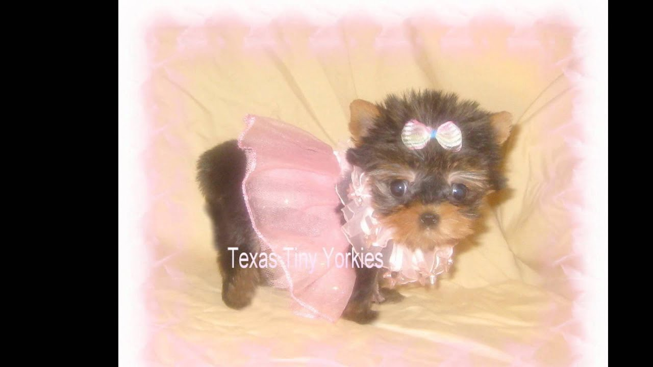 Yorkie Breeder In Texas Yorkie Puppy For Sale T Cup Yorkie Puppy