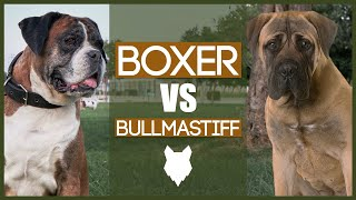 BOXER VS BULLMASTIFF