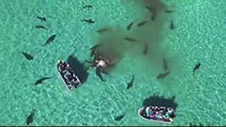 70 акул съели огромного кита – видео(В Сети набирает популярность видео, на котором 70 тигровых акул в течение нескольких часов расправлялись..., 2016-05-23T11:02:04.000Z)