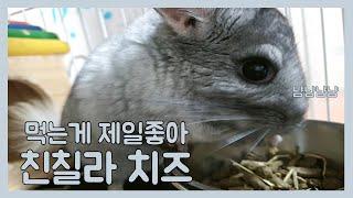 냠냠쨥쨥 폭풍먹방 하얀친칠라 치즈☺ chinchilla…