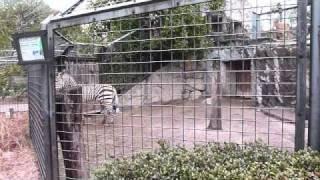 上野動物園のハートマンヤマシマウマ。少々狭い運動場ですが今日のトー...