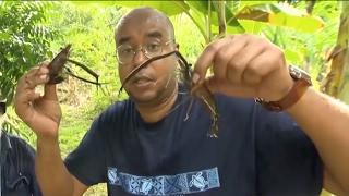 Ловля пресноводных креветок на Марианских островах