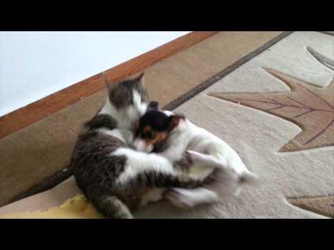 Jack Russell Terrier - Takhs vs Cat