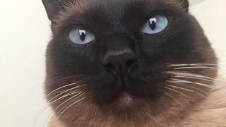 Мужественный сиамский кот =^..^= СИАМСКИЕ КОШКИ