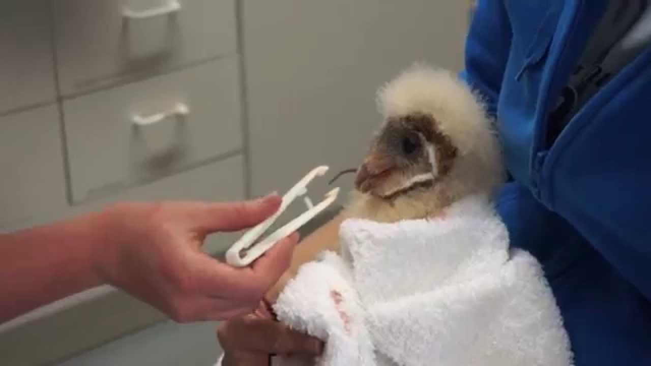 Feeding Very Vocal Baby Barn Owl! - YouTube