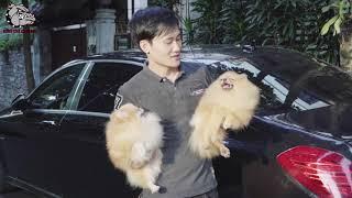 [DOG REVIEW] Chó POMERANIAN - Chó Phốc Sóc / Hùng Chó Channel ,Chó sành điệu