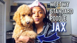 Meet My Standard Poodle Puppy Jax