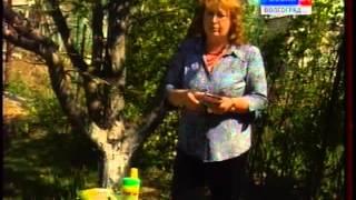 видео Яблоневая плодожорка - меры борьбы