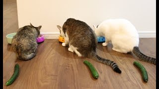 猫とうさぎにきゅうり置いてみた。- I put cucumbers behind cats and rabbits thumbnail