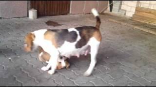 Beagle Spielen