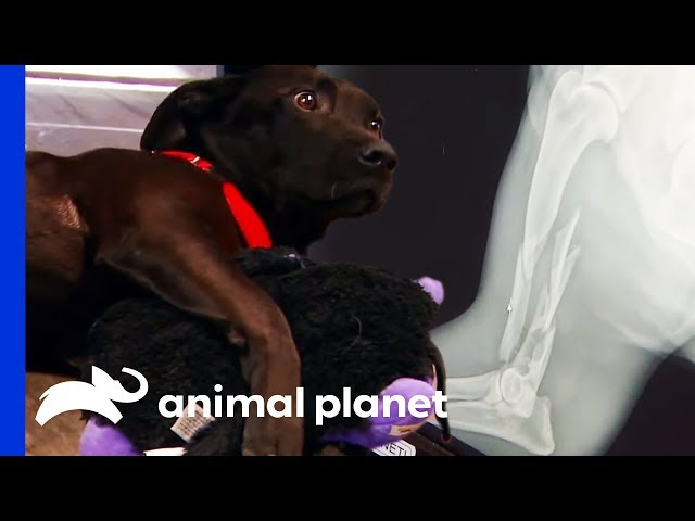 Vets Attempt To Fix Dog's Shattered Leg | Dr. Jeff: Rocky Mountain Vet