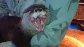 夜泣きするカワウソをあやします(ちぃたん☆まだ心は赤ちゃん)Otter