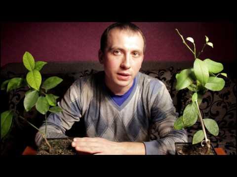 Почему желтеют листья на растениях.Борьба с хлорозом