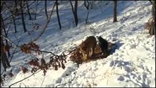Момент нападения тигра Амура на козла Тимура!