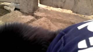 Собака похожая на медведя