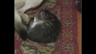 Сон котенка