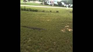 Gator On The Lawn