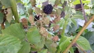 Ежевика садовая огромный урожай(, 2016-07-25T15:47:36.000Z)