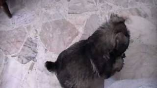 My Puppy Schnauzer Mini