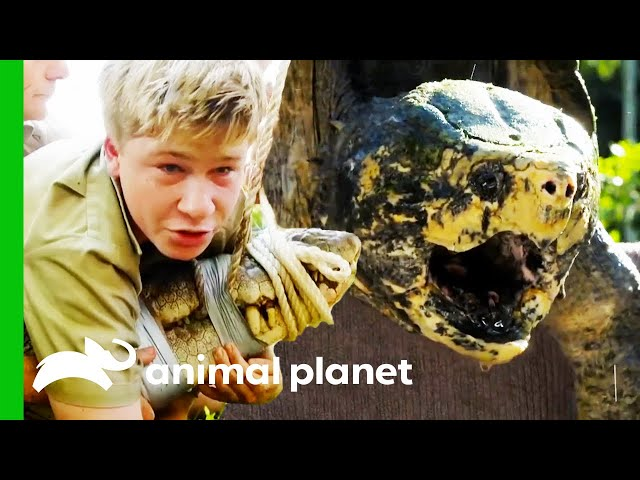 Robert Irwin's Best Reptile Moments | Crikey! It's the Irwins