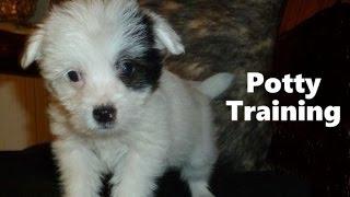 How To Potty Train A Jackapoo Puppy - Jackapoo House Training Tips - Housebreaking Jackapoo Puppies