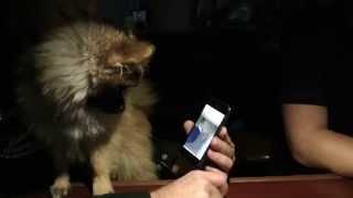 Zwergspitz-hund Rocco Wundert Sich über Sein Iphone-selfie, In Welchem Er Aus Dem Smartphone Spricht