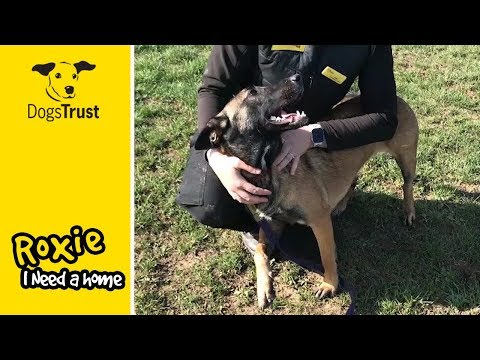 Roxie, a Belgian Shepherd Dog, is Looking for a New Home! | Dogs Trust Basildon