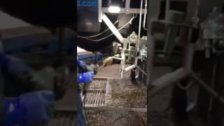 ANKAでF1(和牛・ホルスタイン交雑種)を削蹄・除角